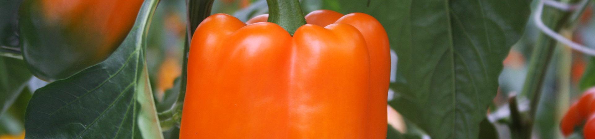 5//100 GRAINES NT POIVRON BLANC Saveur Riche Sucrée Potager Légumes Plantes